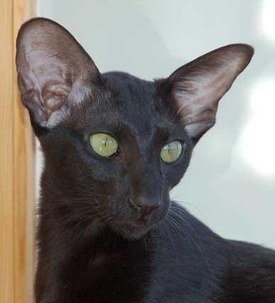 Фото находится также в галереях: кошка коромыслом фото и