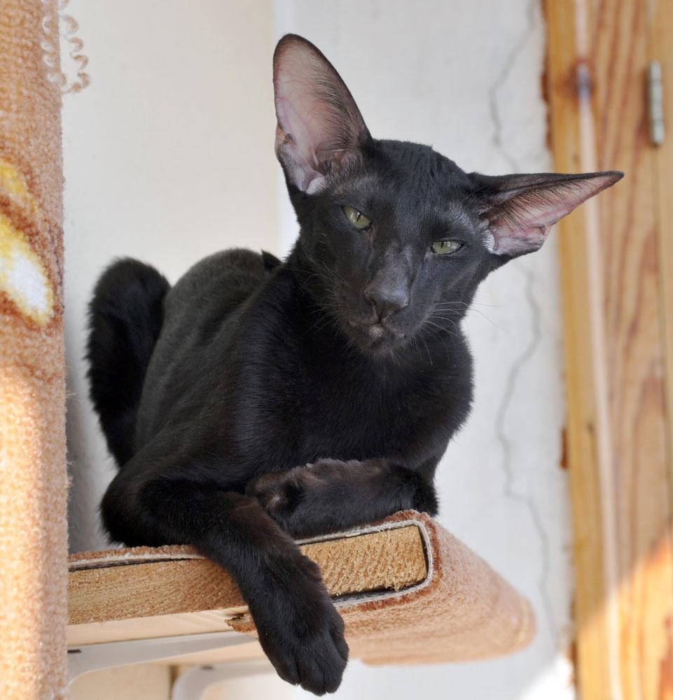 Francesca Dixie Catori - ориентальная кошка, окрас черный ...
