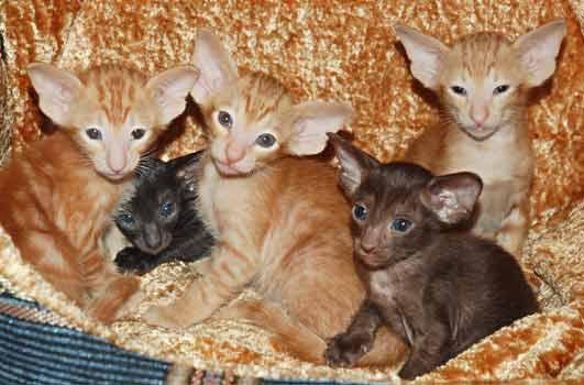 Окрасы кошек немного о генетике