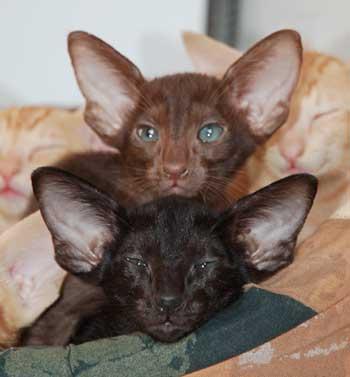 Окрасы кошек: немного о генетике окрасов кошек.