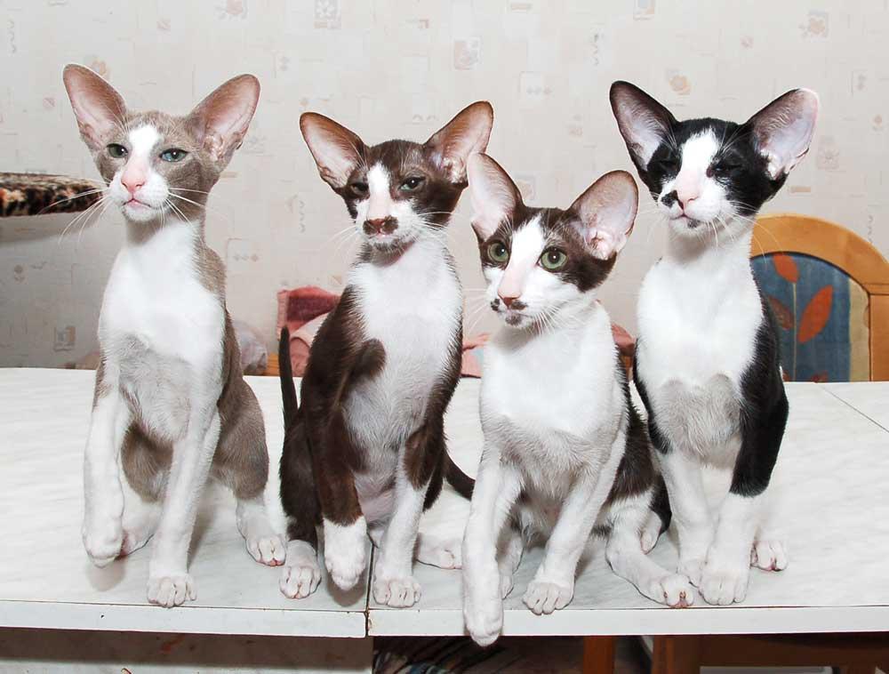 The Cat Collection №57 Ориентальный биколор Фото