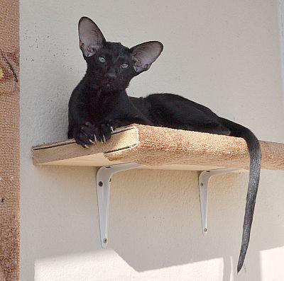 Francesca ориентальная кошка окрас